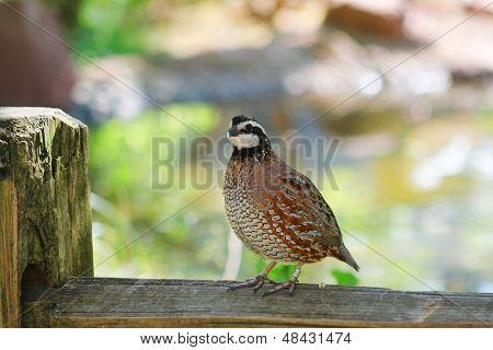 Northern Bobwhite (Colinus virginianus), also called quick frozen quail, found in Oklahoma