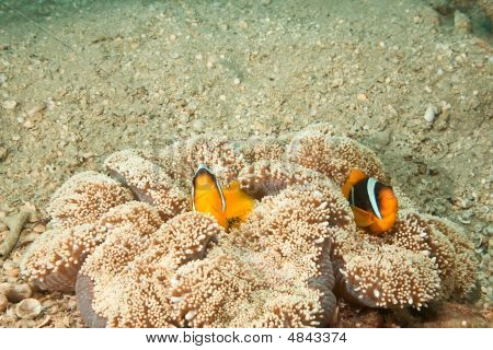 Anemonefish And Haddon's Anemone