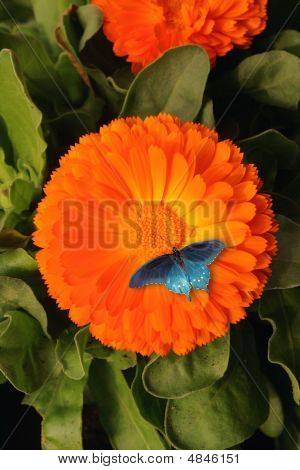 Butterflower