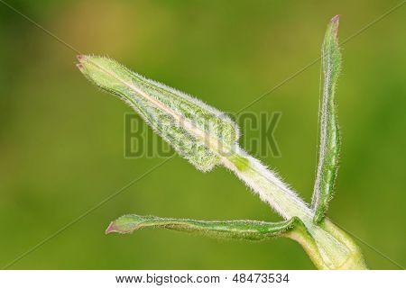 Asclepiadaceae Herb Leaves