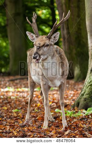 Close-up of a Persian Fallow Deer (Dama dama mesopotamica) in an autumn forest. poster
