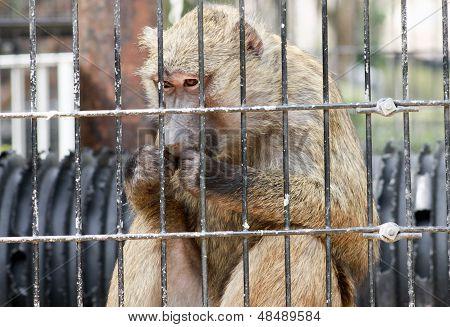 Baboon Eating