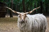 Lonely hungarian 'racka' sheep (Ovis aries strepsiceros Hortobagyiensis) standing in shade below trees. poster