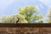Raven sitting on a stone wall, mountains in the background. poster