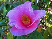 Pastel Pink Camilla Flower, bright pink very early blooming closeup nature floral poster