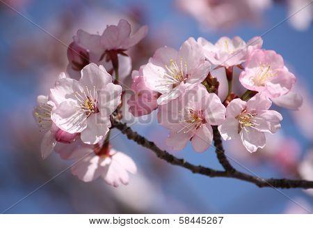 Macro pink japanese cherry twig blossom bokeh background