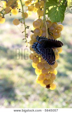 Butterfly Chardonnay