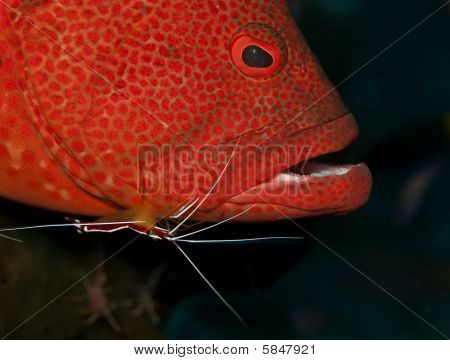 shrimp cleaning grouper