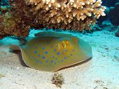 A blue spotted stingray (Taeniura lymma) under acropora table coral poster