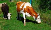 Two cows on a pasture. Front view. poster