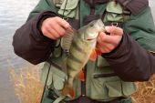 big perch fishing on winter from ice poster