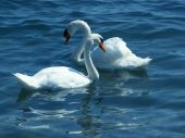 Mute Swan couple swimming in a lake poster