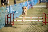 Greyhound demonstrating its agility by jumping over a hurdle at a dog show poster