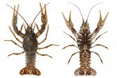 Alive crayfish closeup isolated on white background top and bottom poster