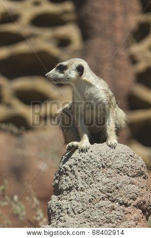Watchful Meerkat On Rock.