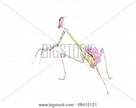 Raptorial Insect Mantis With Spiked Foreleg