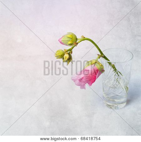 Pink Mallow (malva) In Crystal Glass
