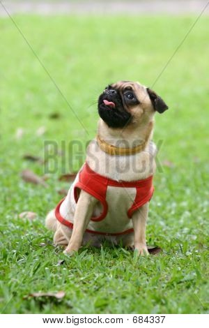 Pug In Park
