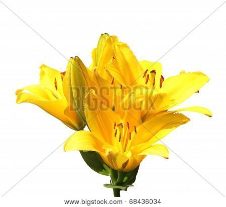 Single Yellow Flower Of Lily Isolated On White
