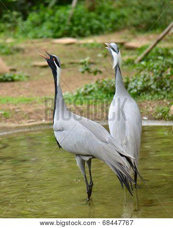 Demoiselle crane in the zoo