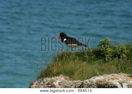 Island Oystercatcher