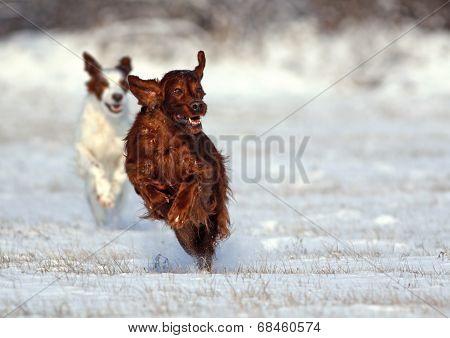 Irish Setter Running