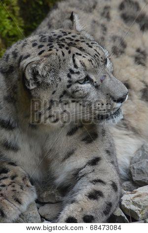 Snow Leopard / Panthera Uncia