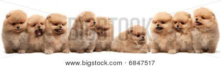 Nine Pomeranian Spitz Puppy
