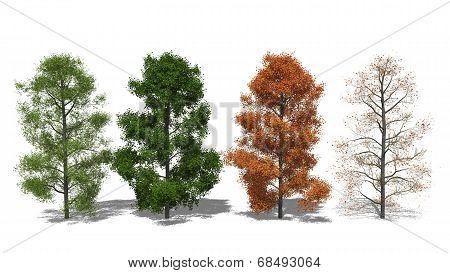 Amerikanischer Amberbaum (liquidambar Styraciflua) Four Seasons