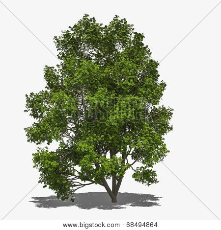 Sorbus Aucuparia (summer)