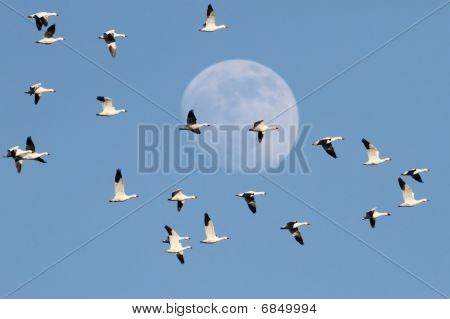 Snow Geese With Moon
