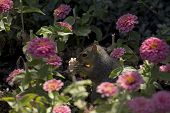 a squirrel feasting in a garden of pink zinnia blossoms (the number of flowerless stalks count the squirrel's voracious appetite!). ** note: visible grain at 100%, best at smaller sizes poster