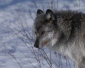 a timber wolf in Canada's wilderness in the winter poster
