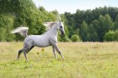 beautiful arab stallion galloping in a field poster