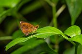 Close up of Common Chestnut Bob (Iambrix salsala) butterfly or skipper perching on green leaf in nature poster