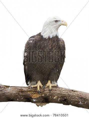 Bald eagle on branch isolated on white