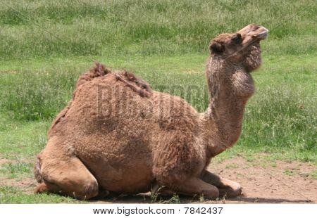 Camel at Virginia Animal Safari