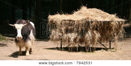 Yak with Hay