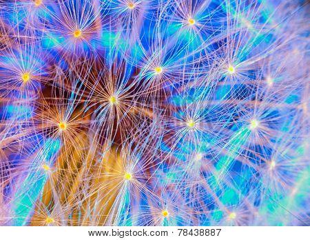 Dandelion with a beautiful blue backlight. macro