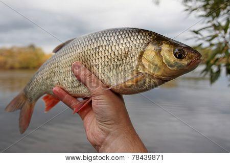 Fish in fisherman's hand, calm autumn weather