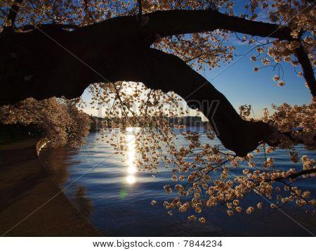 Cherry tree and sunshine