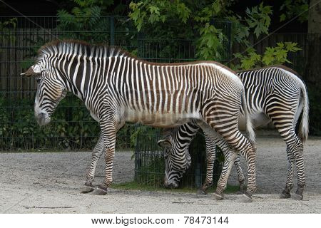 Grevy's zebras (Equus grevyi), also known as the imperial zebras.