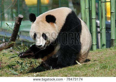Giant panda (Ailuropoda melanoleuca).