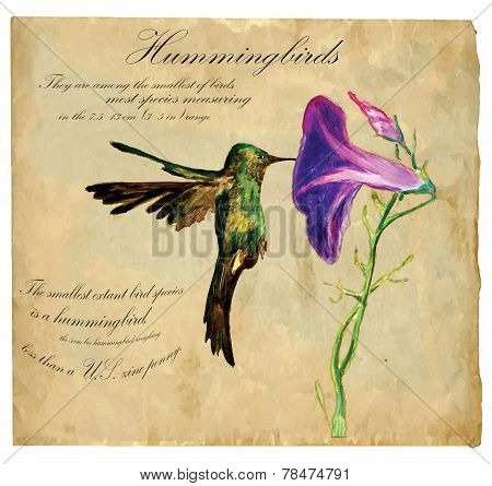 Hand Painted Illustration (vector), Bird: Hummingbird