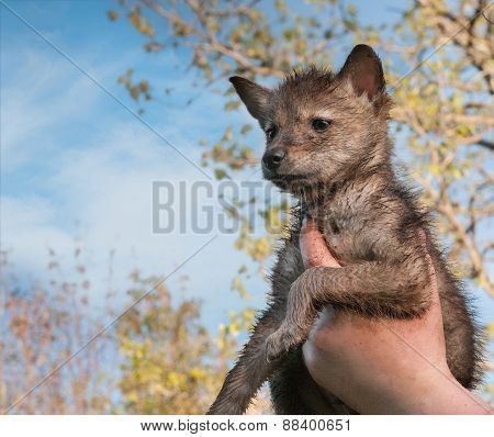 Coyote (canis Latrans) Pup Held Up To Sky