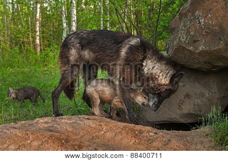 Black Wolf (Canis lupus) and Pup Share Moment at Densite - captive animals poster