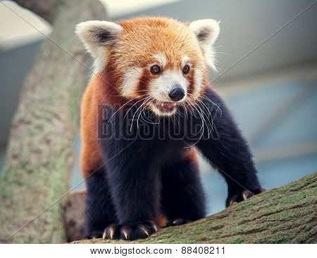 Portrait of a Red Panda, Firefox or Lesser Panda Ailurus fulgens
