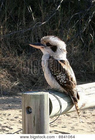 Laughing Kookaburra icon bird of Australia