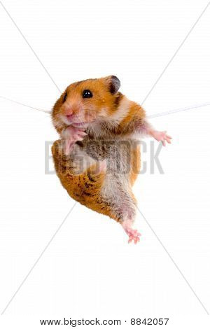 Hamster Hanging On A Rope
