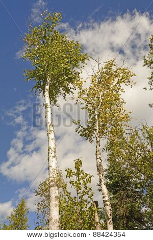 White Birch Trees Against The Sky
